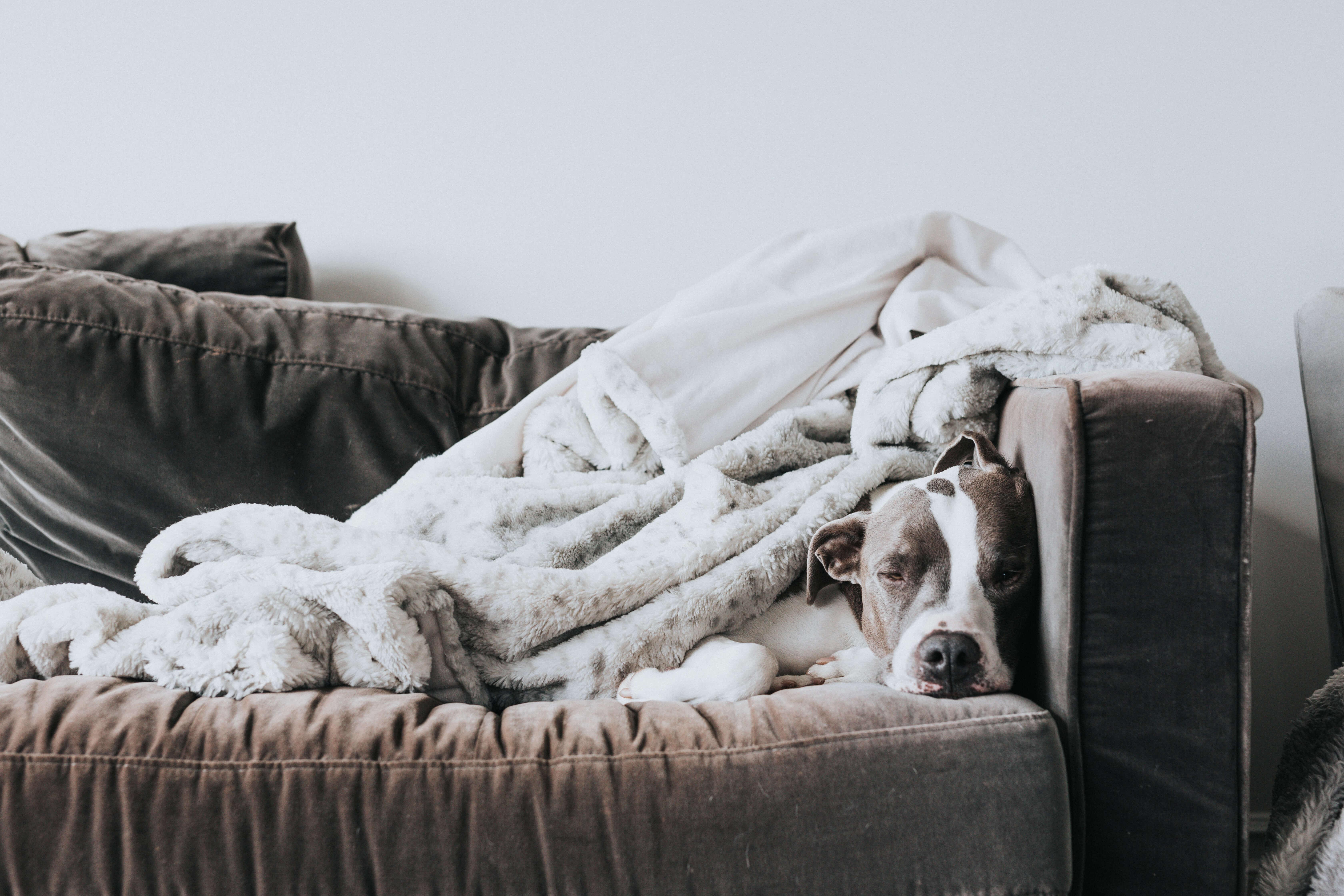 choix tissu divan avec chien
